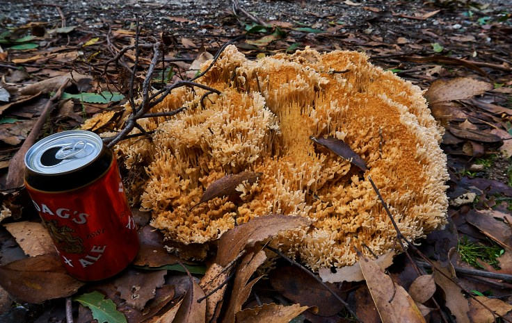 Coral Fungi 1