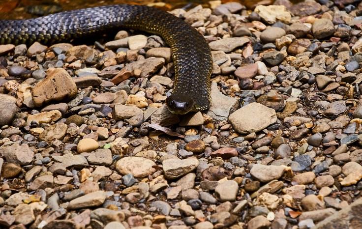 Tiger Snake 1 1