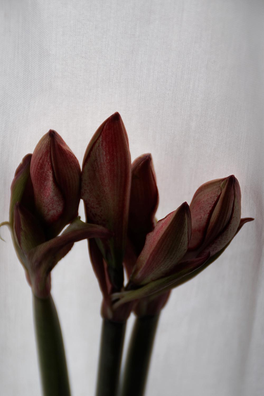 Weihnachtsblumen: Amaryllis