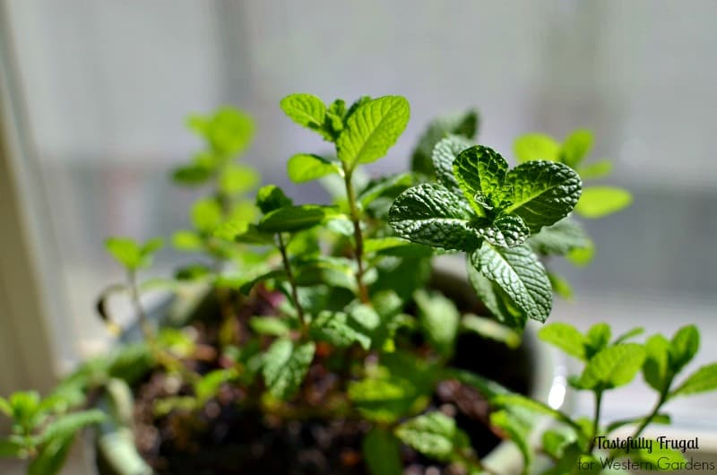 Herb Gardening 101: 5 Do's & Don'ts | Tastefully Frugal
