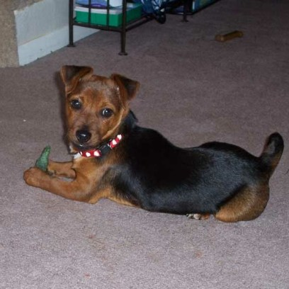 Stitch when he was a puppy. He was originally our daughter's dog, until she couldn't have him in an apartment she moved to.