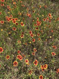 Texas Wildflowers: Indian Blanket (AKA: Blanket Flower, Firewheel Flower)