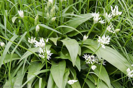 Wild Garlic in the Haute Savoie