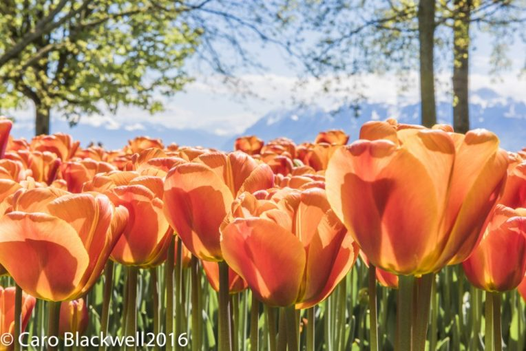 Fete de la Tulipe in Morges - photo by Caro Blackwell