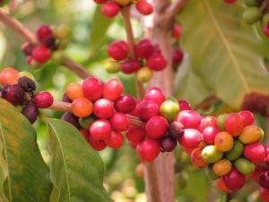 Best Kona Coffee - Pic