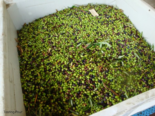 Black and green olive ready for processing at Oregon Olive Mill at Red Ridge Farms