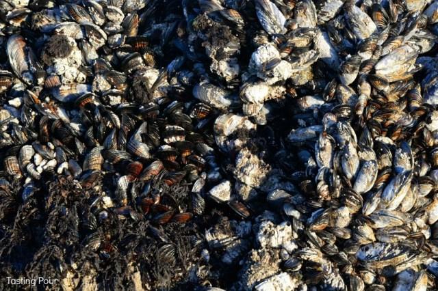 Mussels on Rocks Oregon Coast