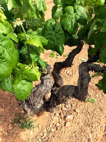 Old Spanish vines