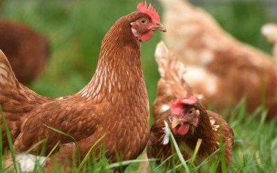 From Jungle Fowl to Jungle Foul: Sustainable Chicken