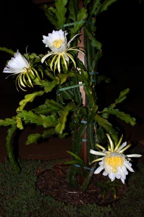 How To Get Dragon Fruit Flowers Tastylandscapetastylandscape