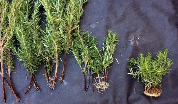 How To Propagate Rosemary 2 Key Tricks Tastylandscapetastylandscape