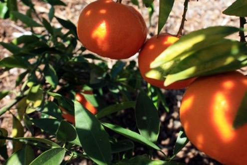 Fairchild Mandarin Delicious But Seedy