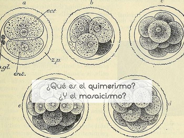 ¿Qué es el quimerismo? ¿Y el mosaicismo?