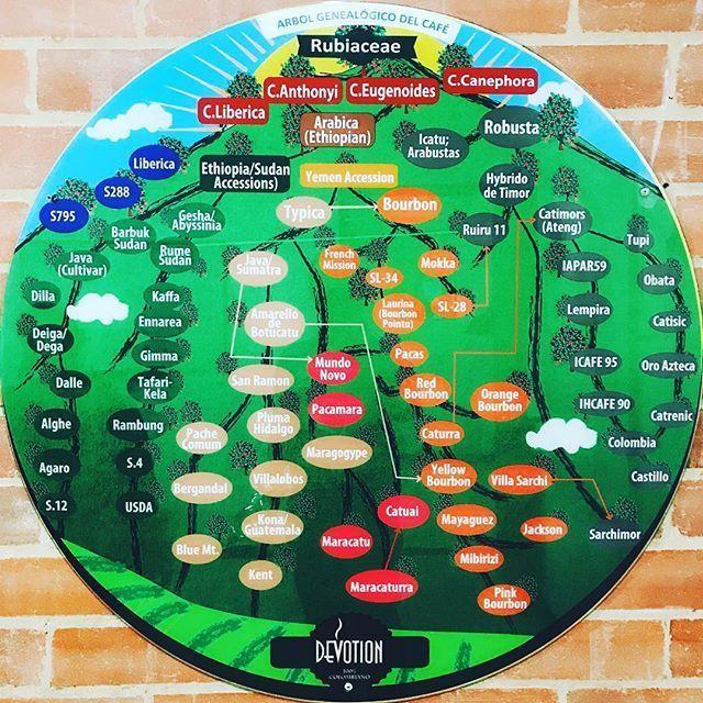 árbol genealógico del café