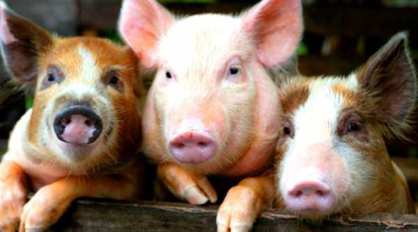 Голова свиньи фото – Голова свиньи — Стоковое фото ...