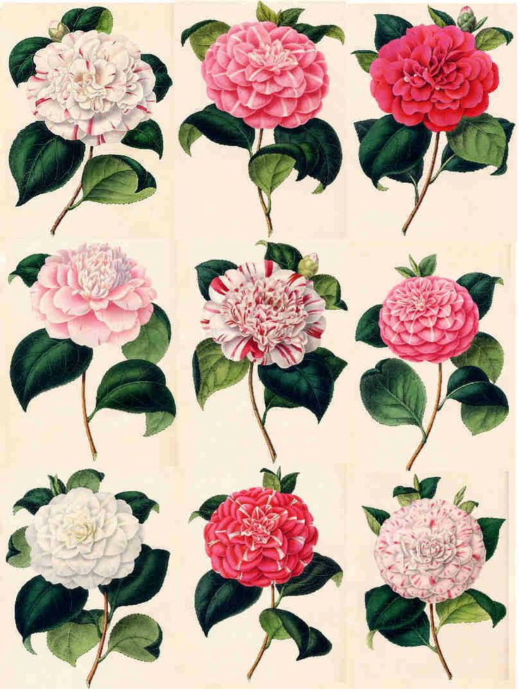 Camellia Flower October Birth Flower Love Your Life Ideas And Designs