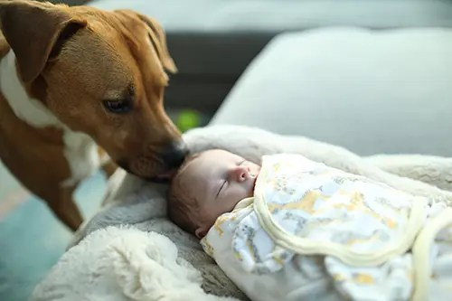 Introducing dog and baby