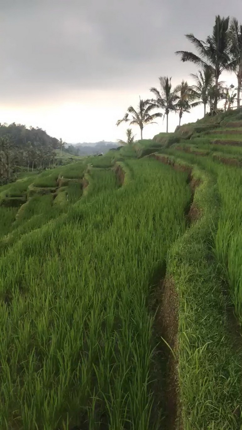 Jatiluwih Rice Valleys North Bali Indonesia - Agriculture, Farm, Field, Flowering plant, Grass, Grass family, Grassland, Outdoor structure, Plantation, Rural area, Vegetation