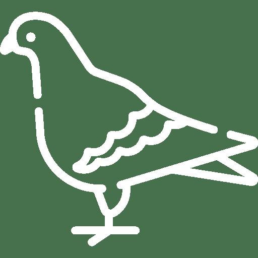 pigeon white
