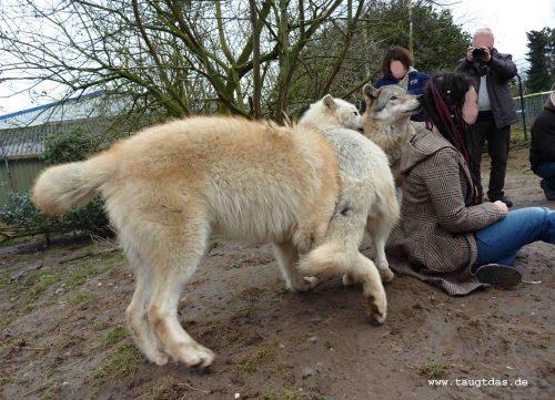 Wolfsbegegnung
