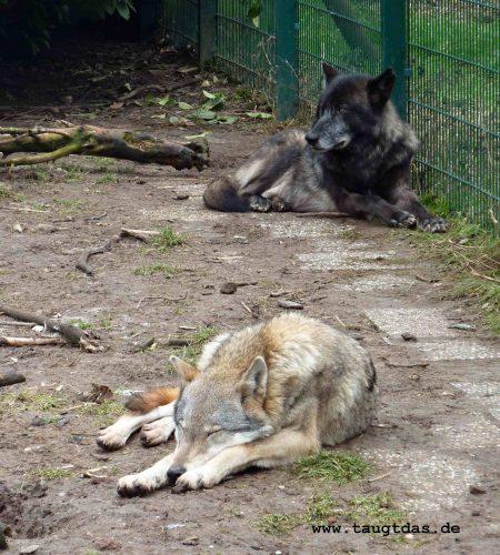 Wolf schläft