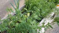 Phacelia - a green manure