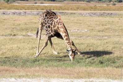 Girafe d'Afrique australe