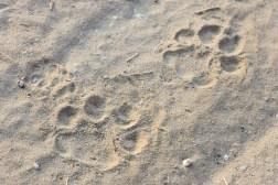 Empreintes de léopard
