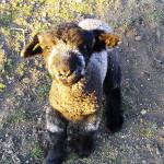 Lamb at Tawanda Farm