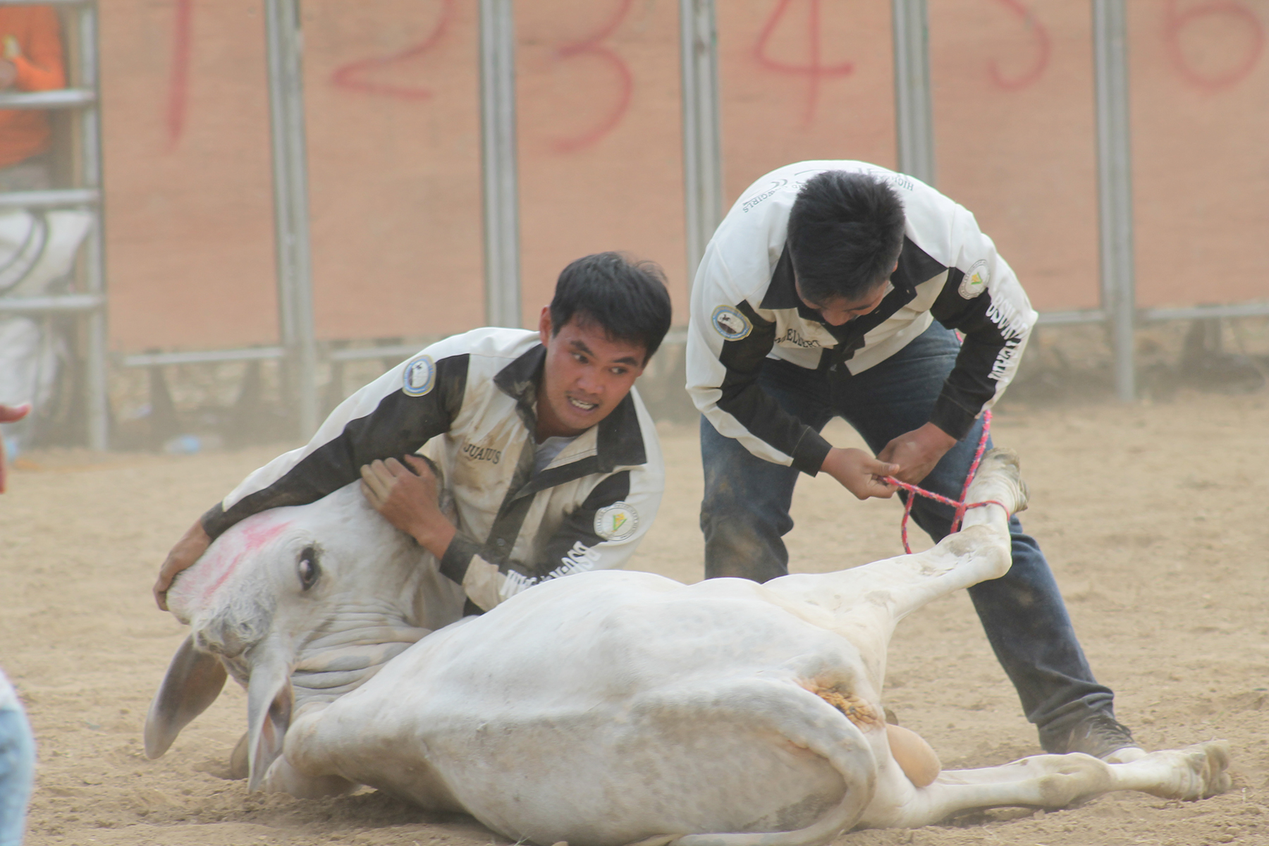 LOCAL COWBOYS JULIUS SUMINGGAO AND ANGELBERT VIDAL bravely tackle down a horned opponent using only their brute strength during the two-person carambola competition in the recently concluded Kannawidan Rodeo at Tamag Grounds, Vigan City, Ilocos Sur. (Photo by Dominic Binay-an)