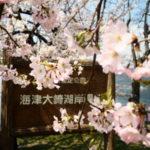 海津大崎は満開の桜です。