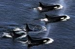 http://www.takepart.com/photos/wild-killer-whales/orcas-open-ocean