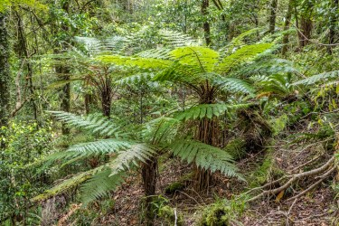 New Zealand Ponga or Tree Fern