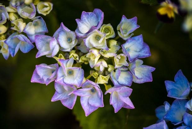 Hydrangea photography