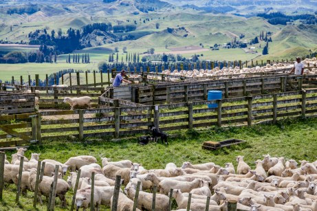 Sheep drafting in New Zealand