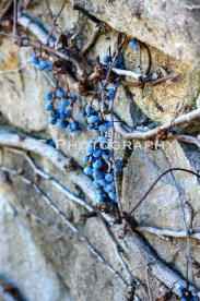 After Harvest Grapes | Taylor Cannon Photography