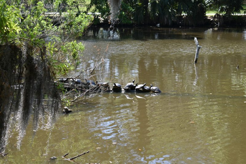 Turtles in City Park, New Orleans