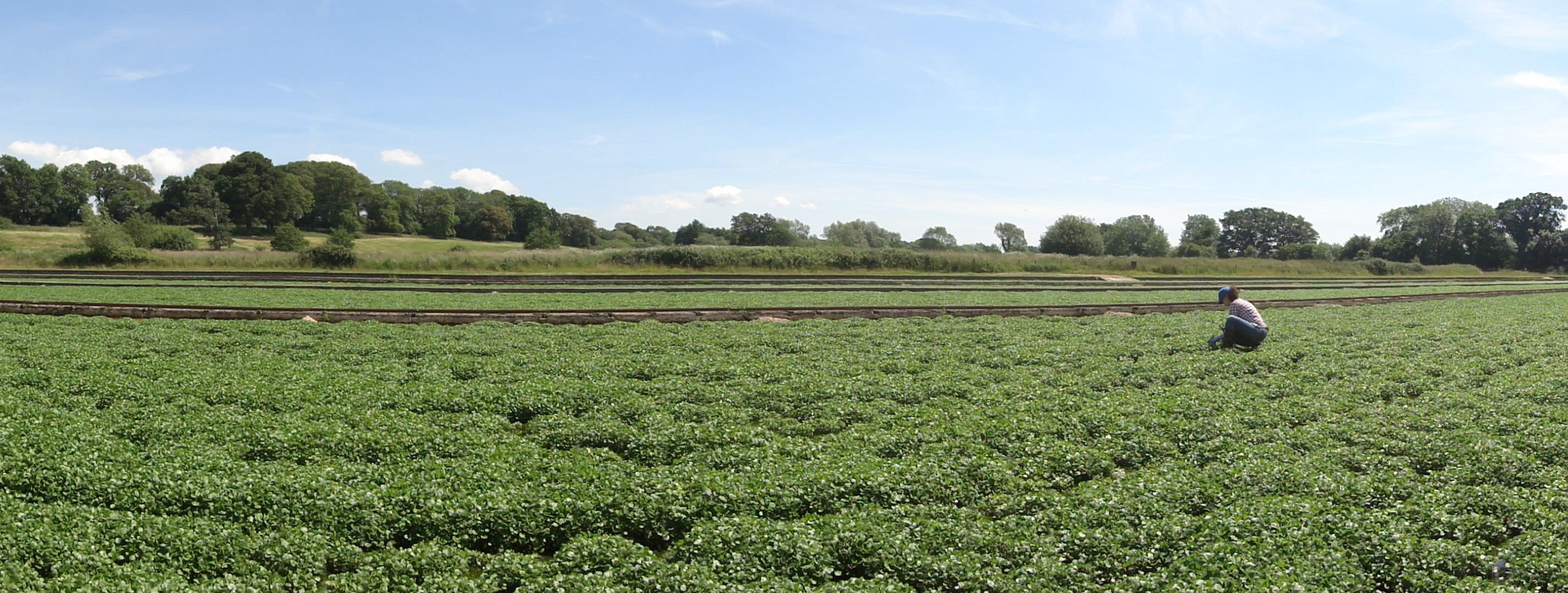 watercress cropped
