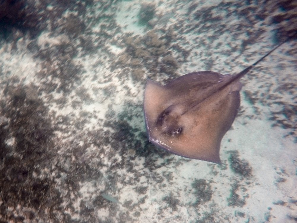 A stingray swims off the coast of Tulum, Mexico