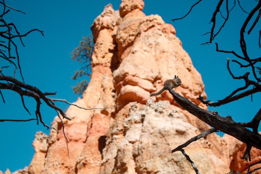 A squirrel perches itself on a stick in front of a hoodoo in Bryce Canyon National Park, Utah