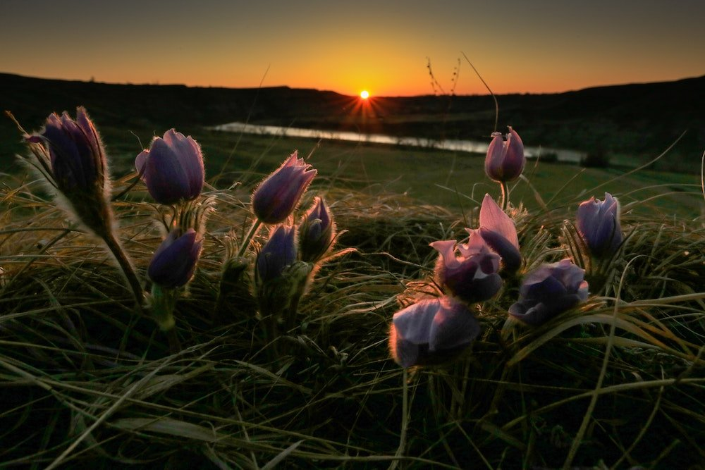 Flowers rest in front of a grassy plain in Alberta during sunset