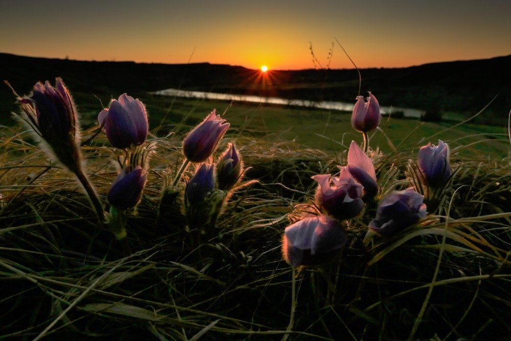 Purple flowers are in the foreground while the sun sets at Head-Smashed-In Buffalo Jump, Alberta
