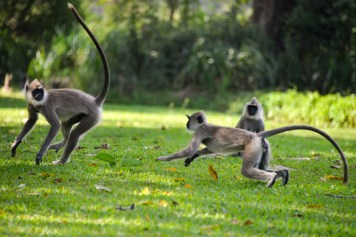 ulagalla langur by the pool fighting