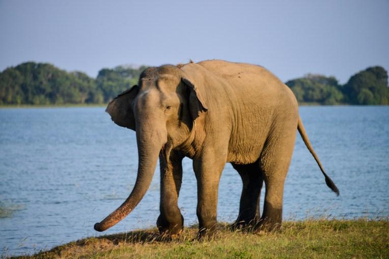 bull elephant getting grumpy