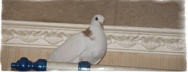 К чему снится птица, залетевшая в дом: толкование известных сонников. К чему снится черная птица