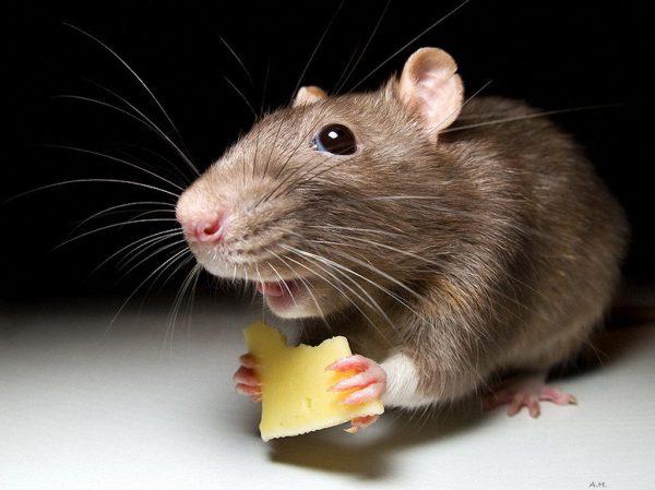 К чему снится живая мышь по сонникам: Миллера, Ванги и др.