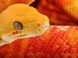 Сон желтая змея. К чему снится жёлтая змея, различные толкования. Сонник Змея, к чему снится Змея во сне видеть