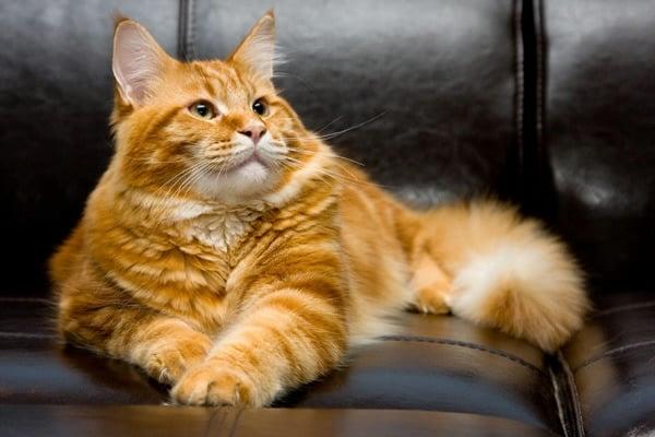 Приметы про рыжего кота или кошку в доме, радостные и ...