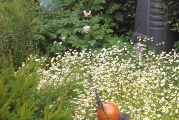 Flowering camomile plants