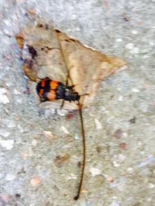 Orange and black beetle